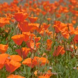 California Poppies, Half Moon Bay, San Francisco