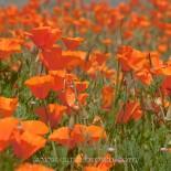 California Poppies, Half Moon Bay, San Francisco