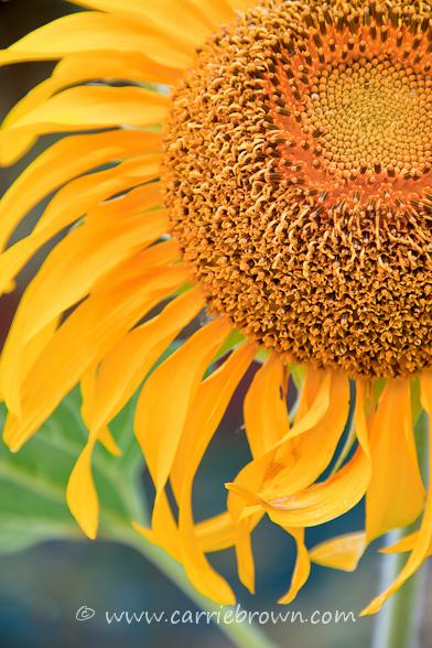 Sunflower, Helen, Georgia