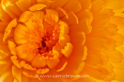 Carrie Brown | Flower