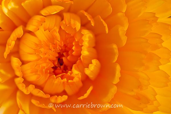 Carrie Brown | Flower